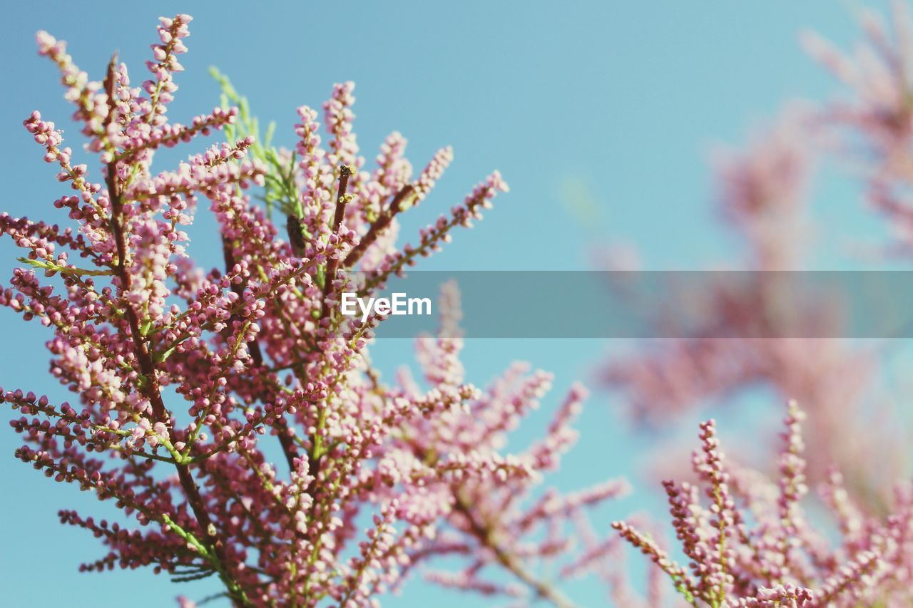 flower, growth, beauty in nature, nature, fragility, blossom, freshness, no people, branch, springtime, pink color, day, tree, selective focus, close-up, outdoors, low angle view, plant, blooming, sky, clear sky, flower head