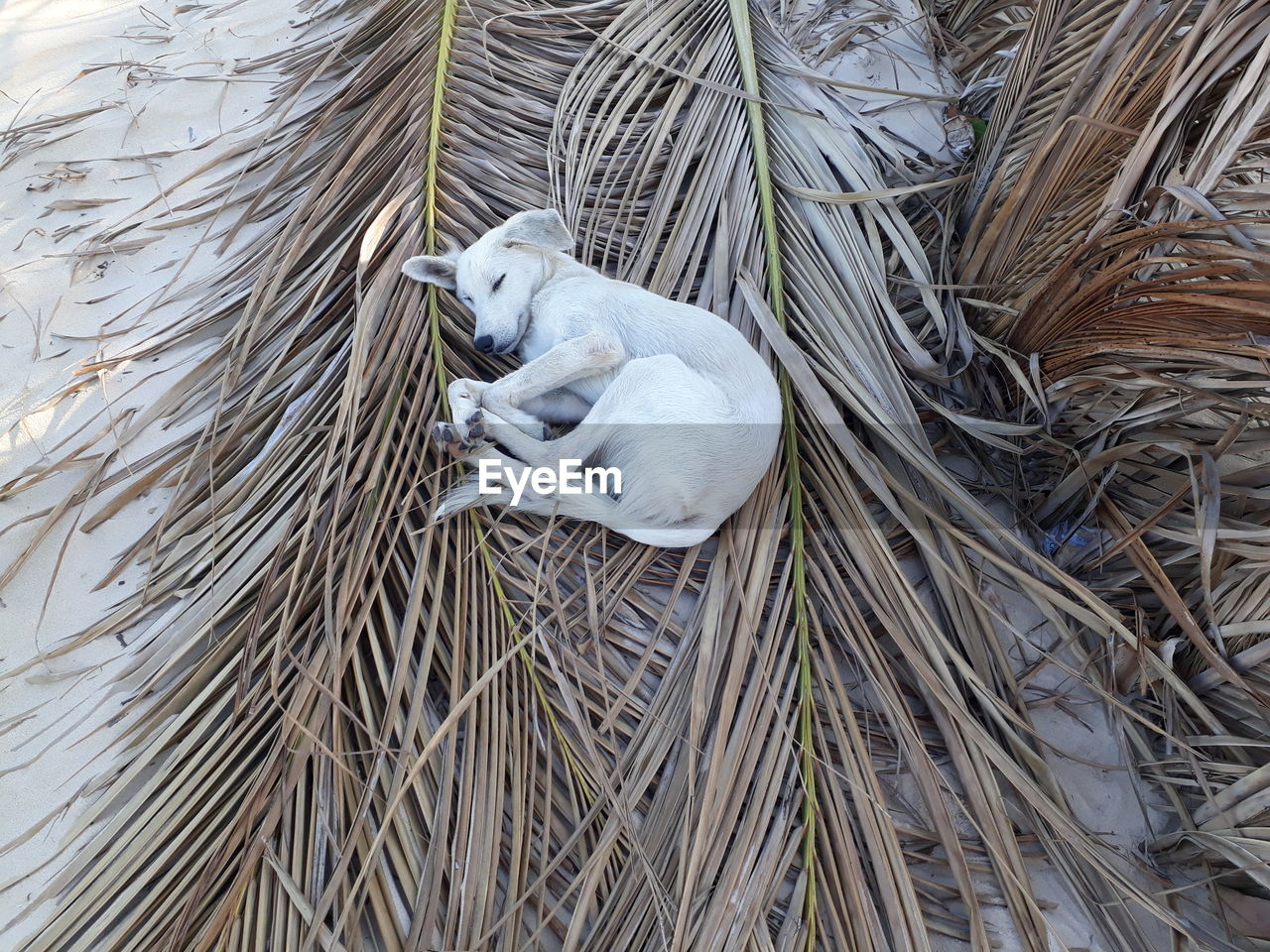 High Angle View Of Dog Sleeping On Dry Palm Leaves At Beach