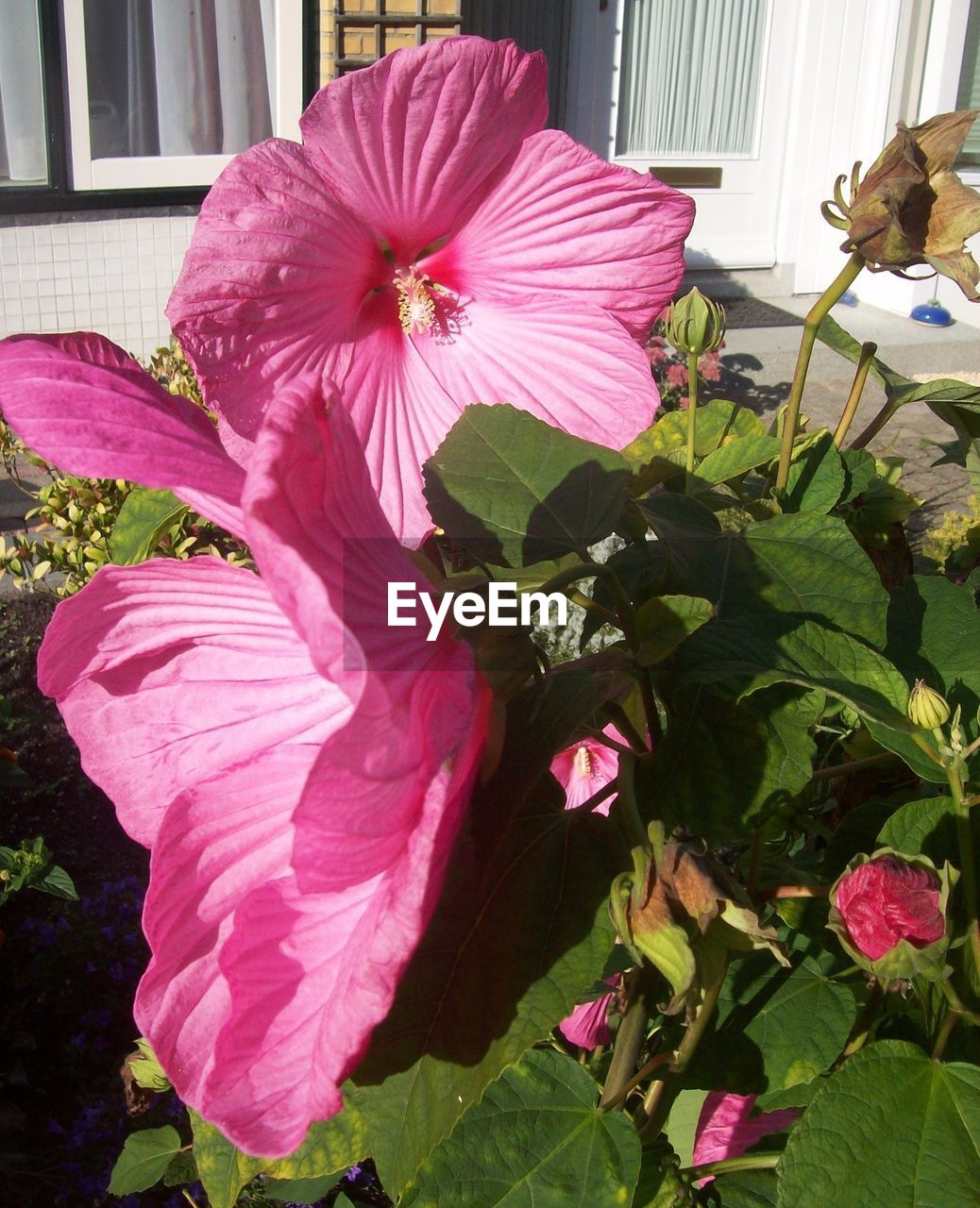 flower, petal, growth, plant, nature, fragility, flower head, freshness, beauty in nature, blooming, no people, day, leaf, hibiscus, outdoors, close-up, petunia