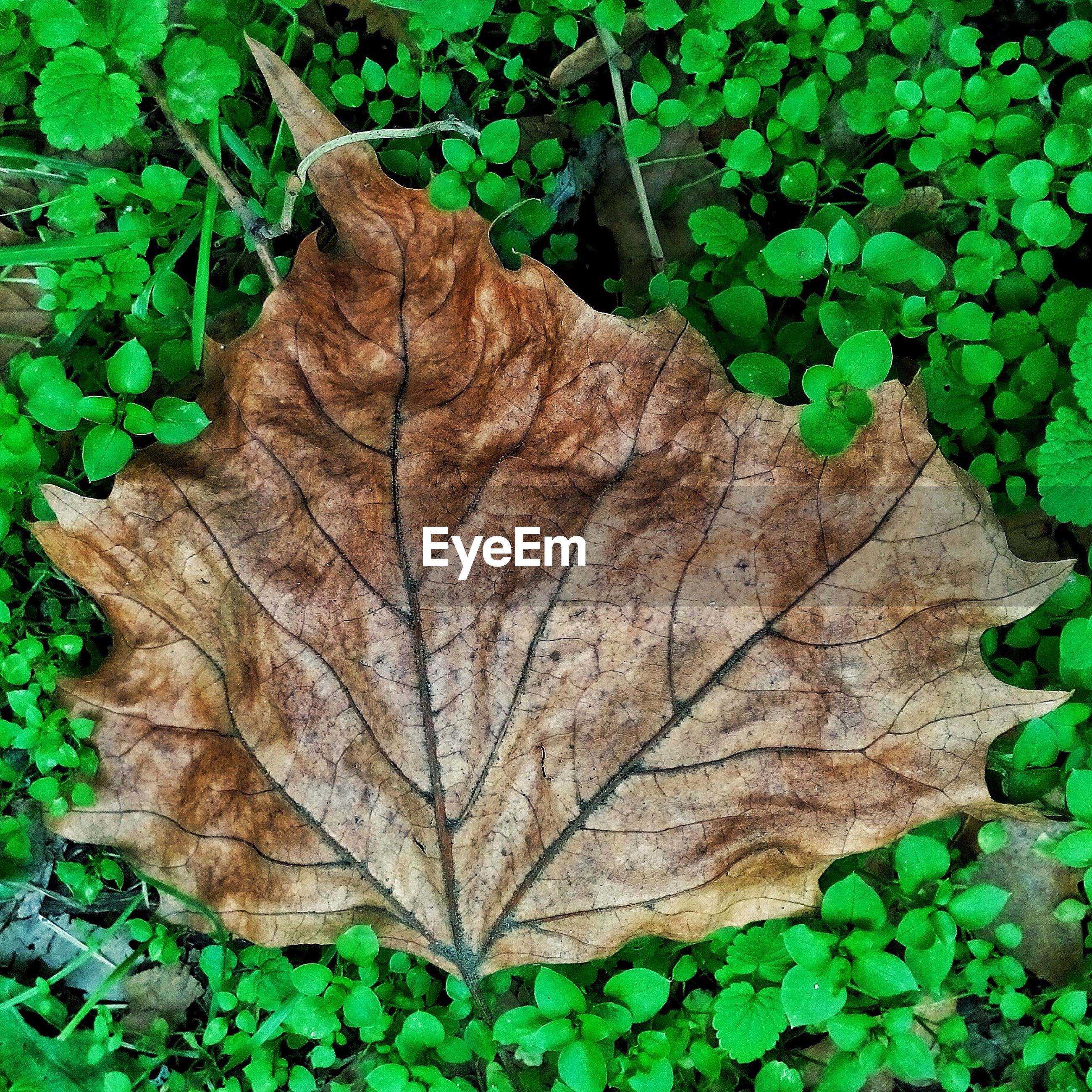 leaf, autumn, change, leaves, nature, green color, plant, dry, outdoors, day, fallen, directly above, fragility, maple leaf, close-up, no people, maple, dead plant, forest, beauty in nature, tree