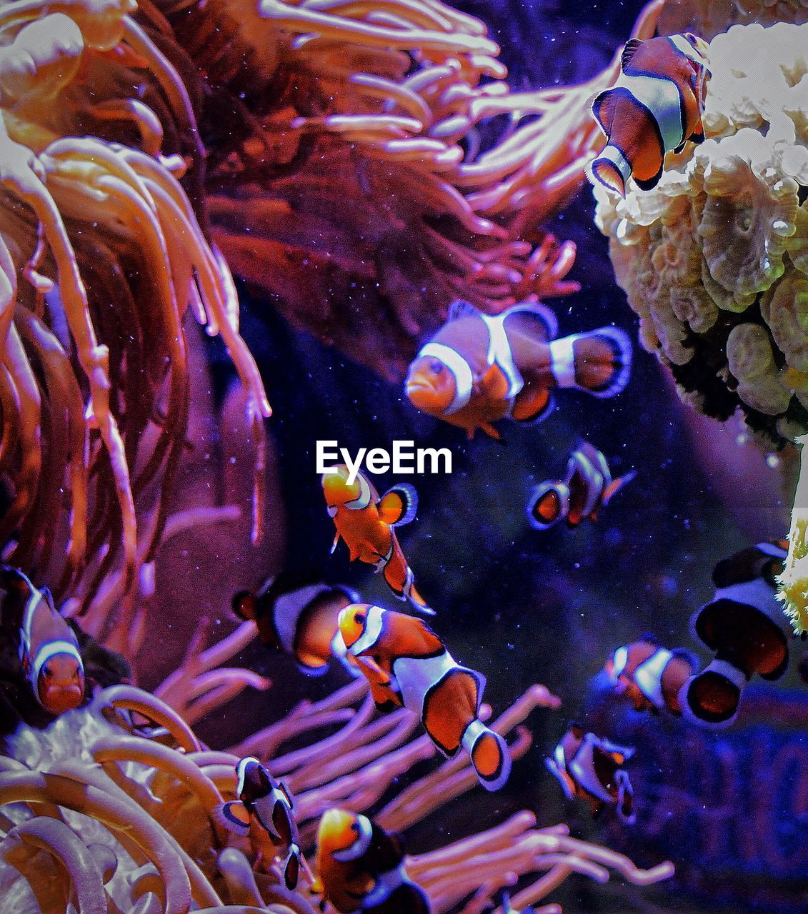 Clown fishes swimming in tank by corals seen from glass