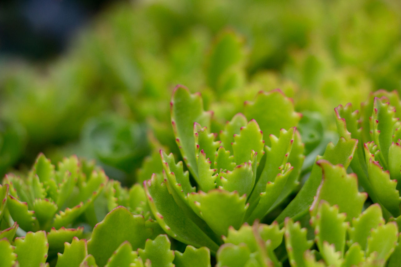 growth, green color, plant, beauty in nature, succulent plant, close-up, no people, selective focus, nature, full frame, day, backgrounds, cactus, focus on foreground, freshness, outdoors, tranquility, plant part, leaf, beginnings