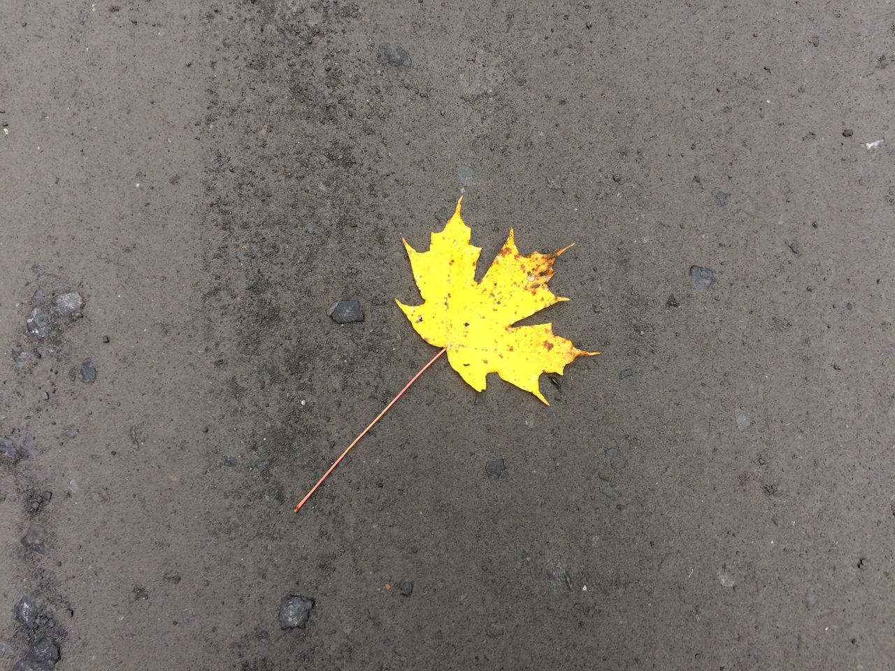 High angle view of fallen yellow maple leaf on footpath