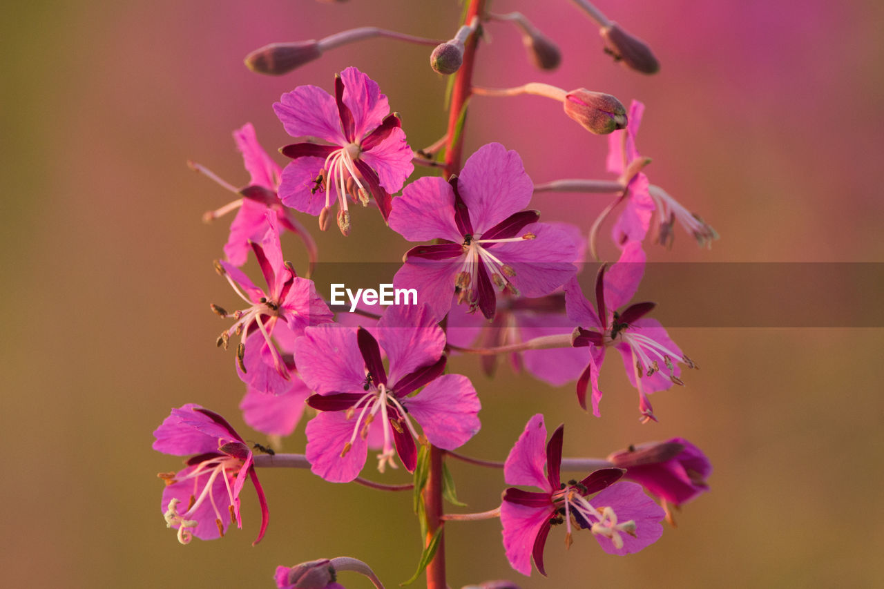 flowering plant, flower, plant, vulnerability, petal, fragility, freshness, beauty in nature, close-up, growth, flower head, pink color, inflorescence, no people, focus on foreground, nature, selective focus, purple, botany, day, outdoors, cherry blossom