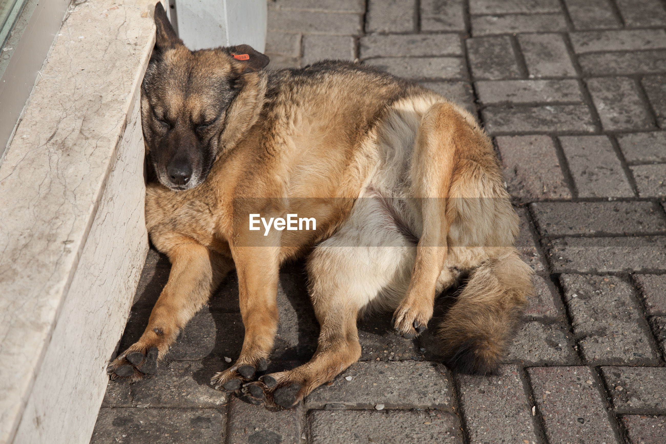 animal themes, mammal, animal, pets, domestic, one animal, domestic animals, canine, dog, vertebrate, footpath, high angle view, relaxation, street, no people, full length, day, sidewalk, city, stone, paving stone, social issues