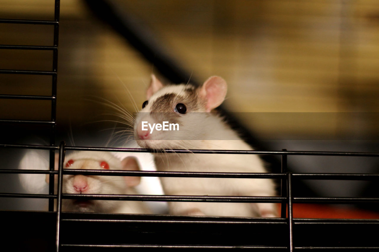 mammal, animal, animal themes, one animal, rodent, domestic, pets, animal wildlife, vertebrate, cage, indoors, no people, domestic animals, close-up, whisker, looking, focus on foreground, looking away, mouse, hamster, animal head