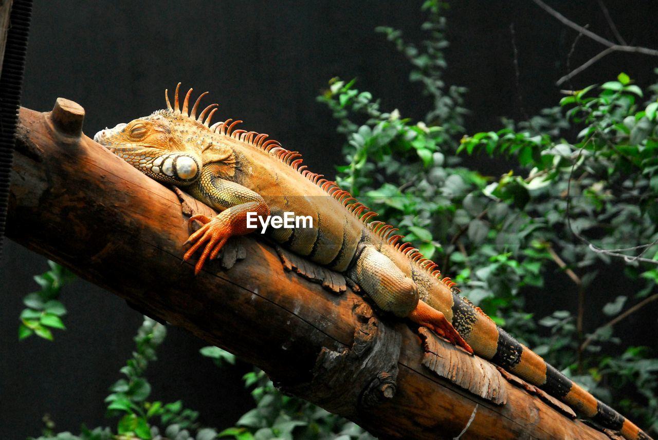 Full length of red iguana on branch