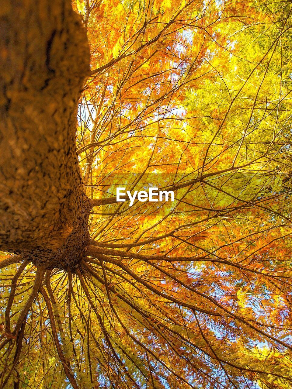 autumn, change, tree, nature, leaf, beauty in nature, tranquility, low angle view, outdoors, branch, growth, environment, no people, day, maple, close-up, sky
