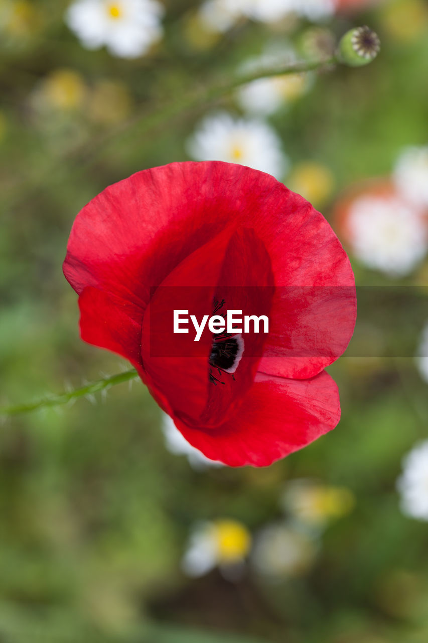 flower, red, nature, petal, beauty in nature, growth, fragility, one animal, focus on foreground, insect, flower head, plant, no people, day, outdoors, poppy, close-up, animal themes, animals in the wild, freshness, blooming