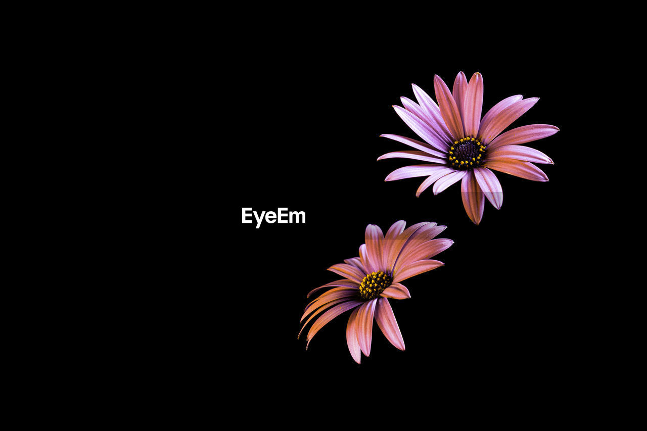 flowering plant, flower, vulnerability, fragility, petal, inflorescence, freshness, flower head, beauty in nature, studio shot, plant, close-up, black background, indoors, copy space, growth, pollen, nature, no people, cut out, osteospermum