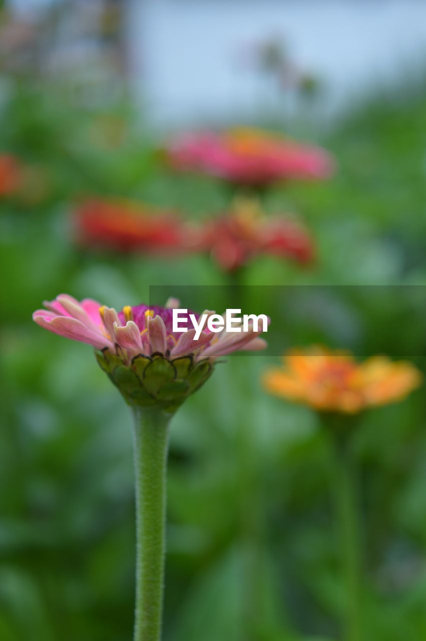 flowering plant, flower, vulnerability, fragility, plant, freshness, beauty in nature, petal, close-up, growth, flower head, inflorescence, pink color, focus on foreground, nature, day, plant stem, no people, outdoors, botany