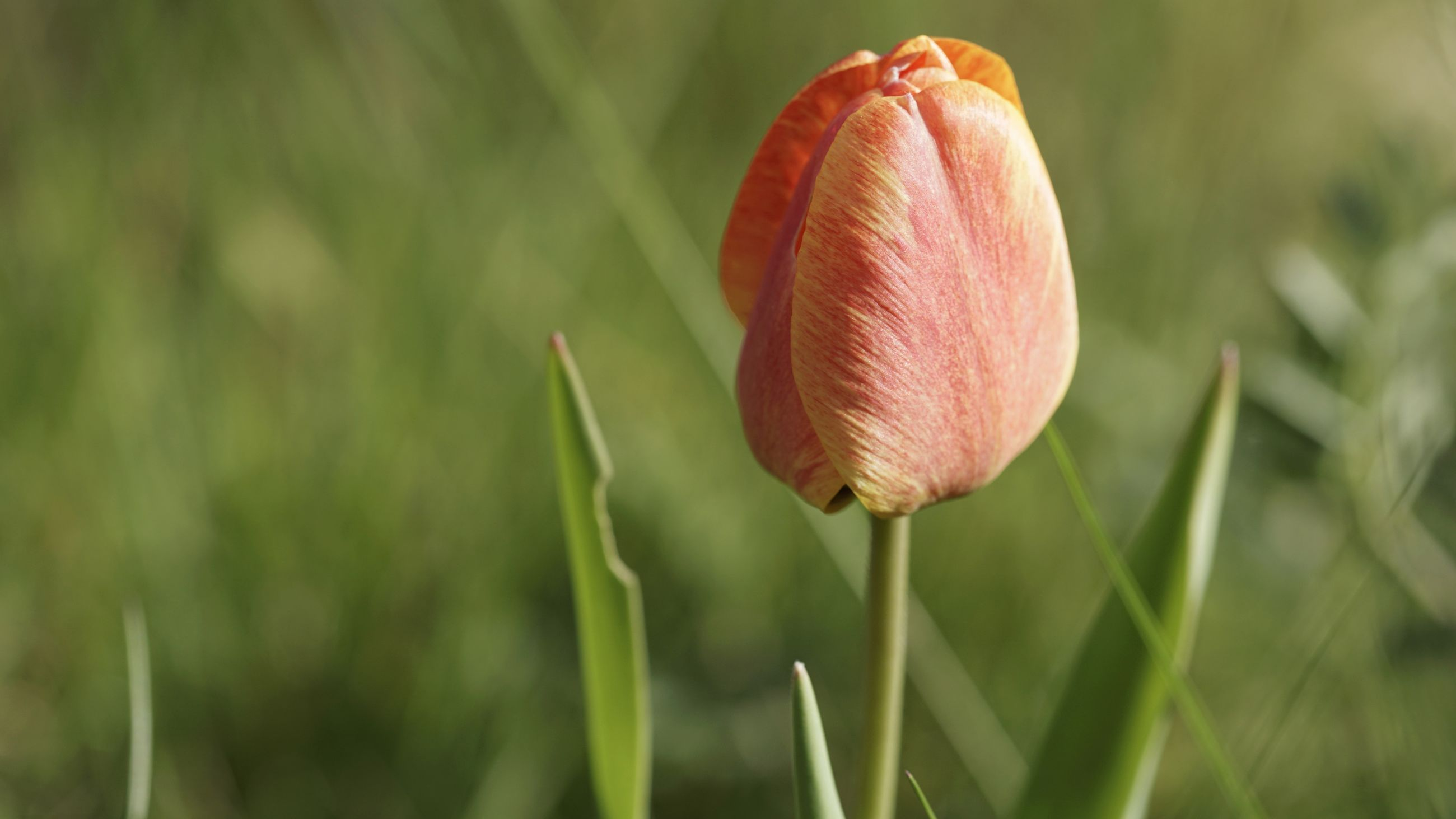 CLOSE-UP OF TULIP FLOWER
