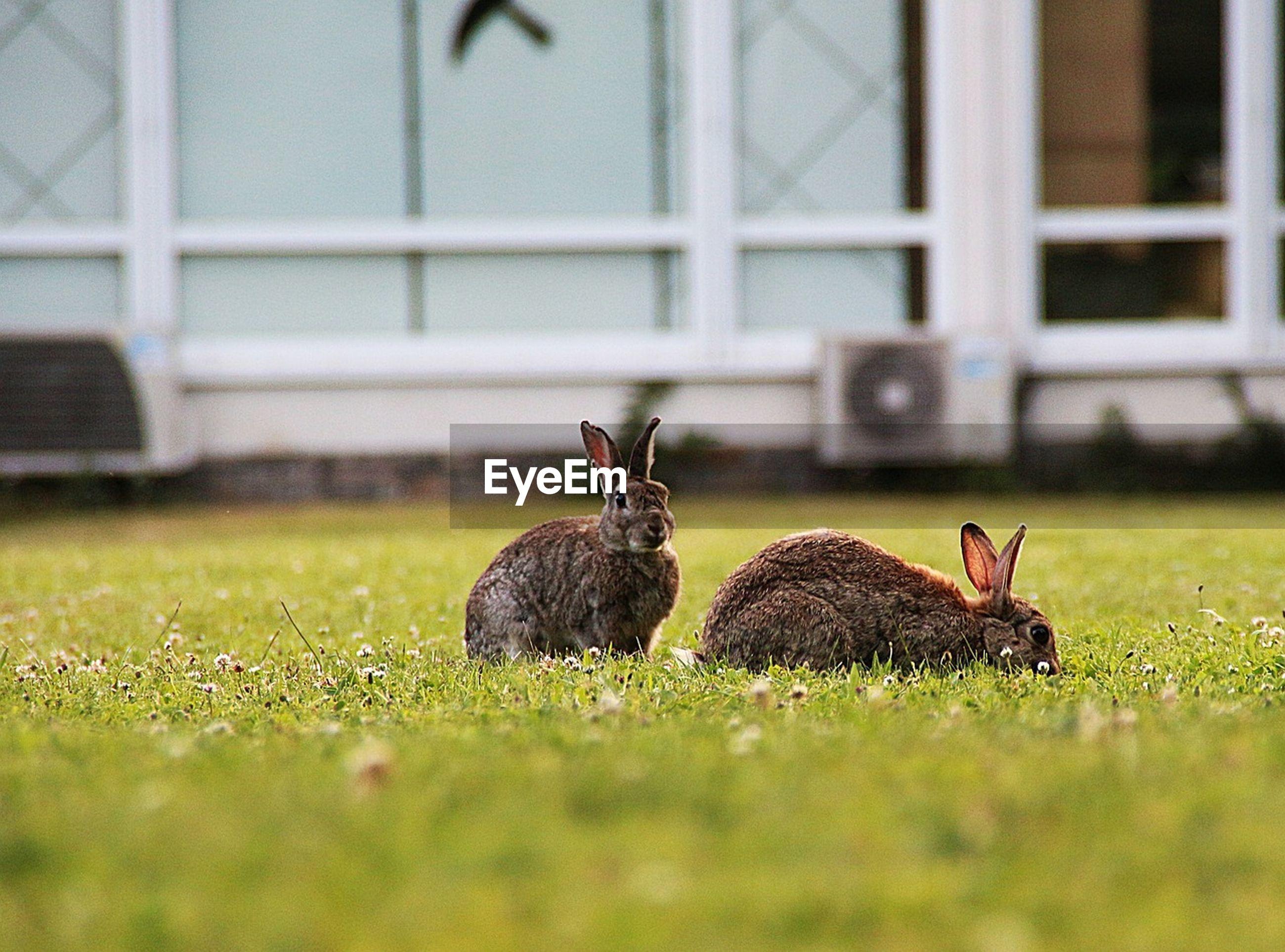 Rabbits grazing in field