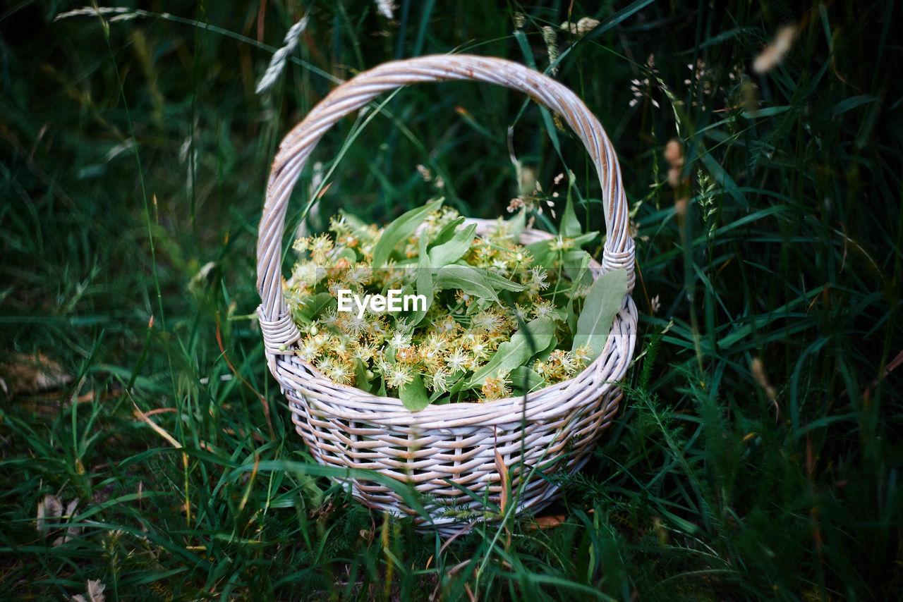 Linden flowers in basket