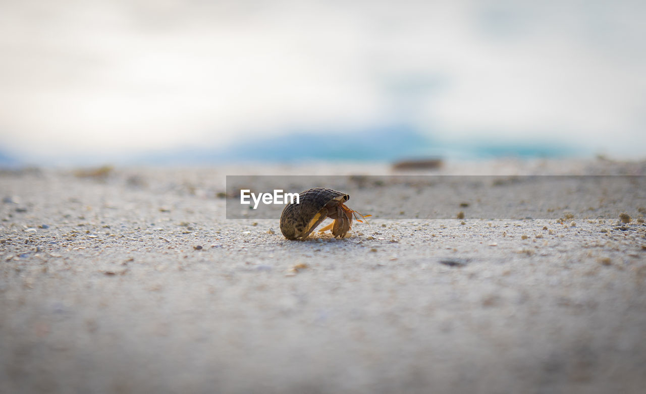 selective focus, animal wildlife, animal, animal themes, animals in the wild, one animal, beach, land, sand, close-up, hermit crab, shell, nature, crab, day, crustacean, no people, animal shell, sea, outdoors, surface level, marine