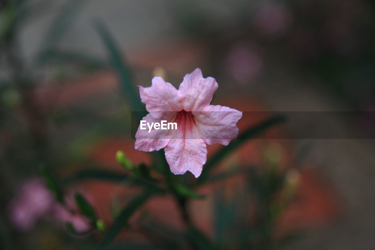 flower, nature, beauty in nature, petal, growth, flower head, fragility, close-up, no people, outdoors, day, blooming, freshness, periwinkle