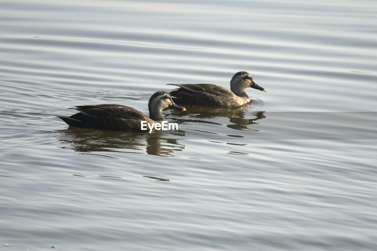 Ducks Swimming On Gyeongpoho Lake