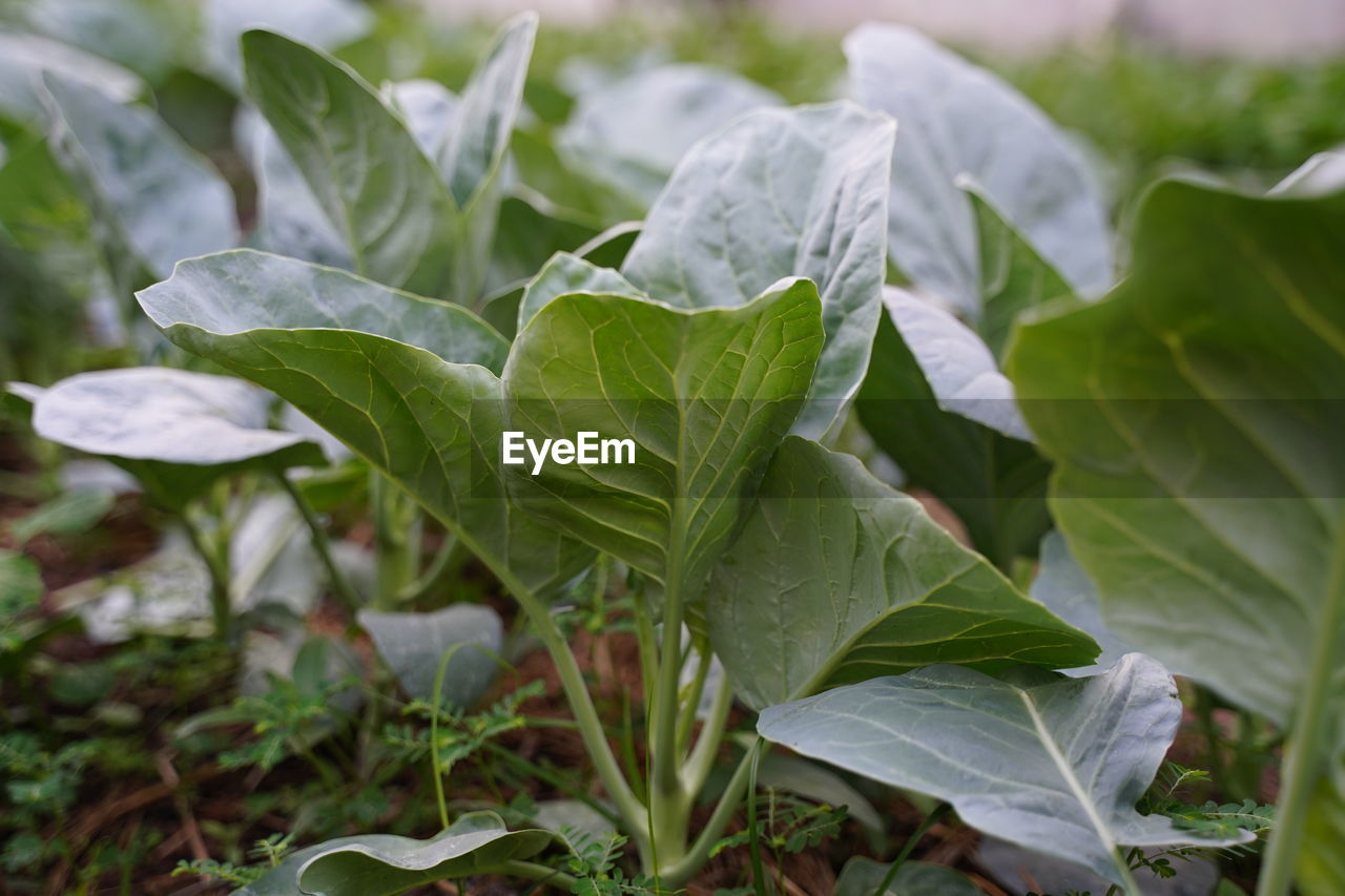 leaf, plant part, growth, plant, close-up, green color, beauty in nature, nature, day, no people, focus on foreground, freshness, land, outdoors, selective focus, food and drink, field, vulnerability, food, fragility, leaves