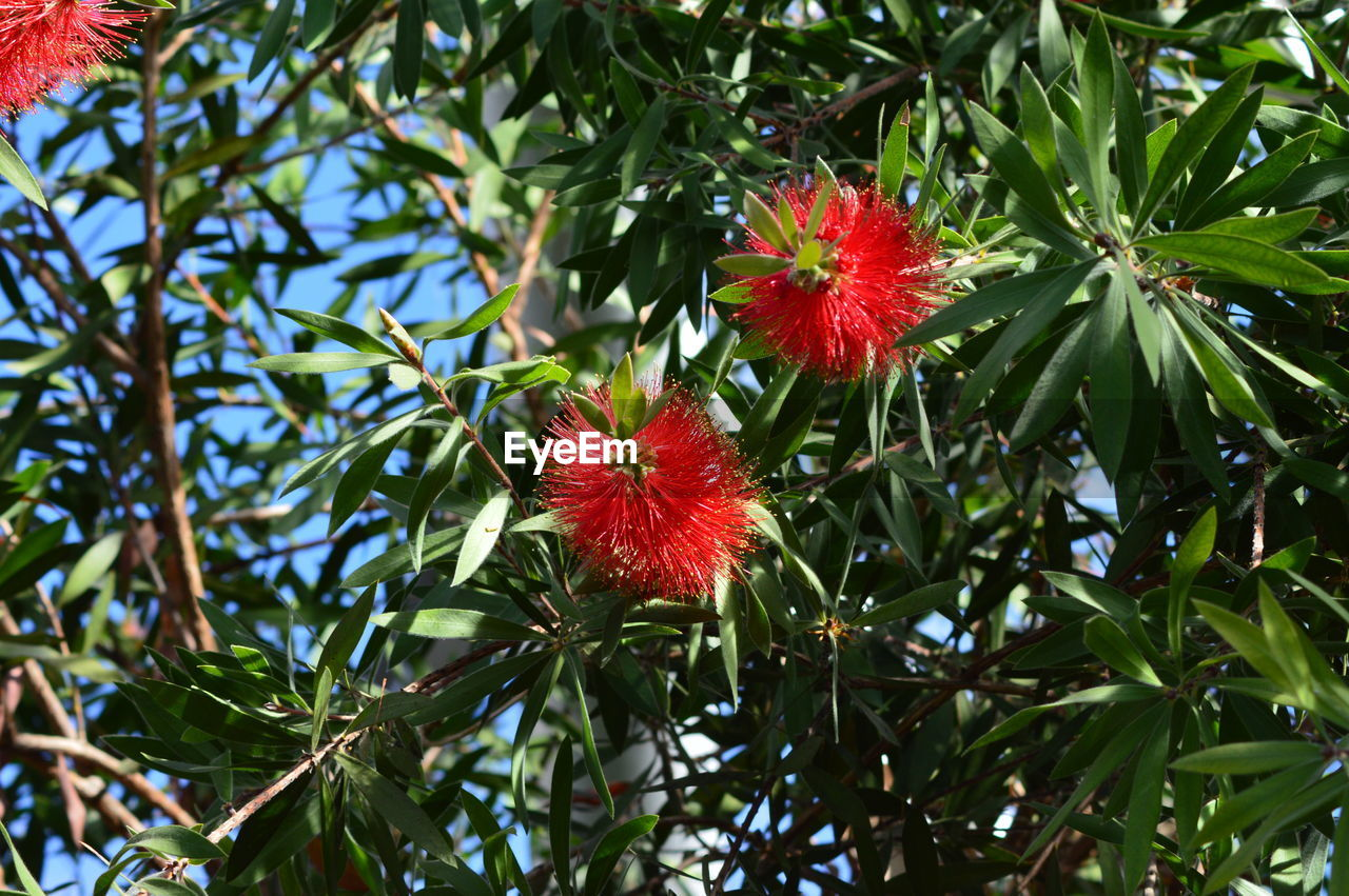 plant, growth, flower, flowering plant, red, beauty in nature, freshness, fragility, vulnerability, green color, close-up, nature, petal, plant part, leaf, no people, flower head, day, inflorescence, tree, outdoors