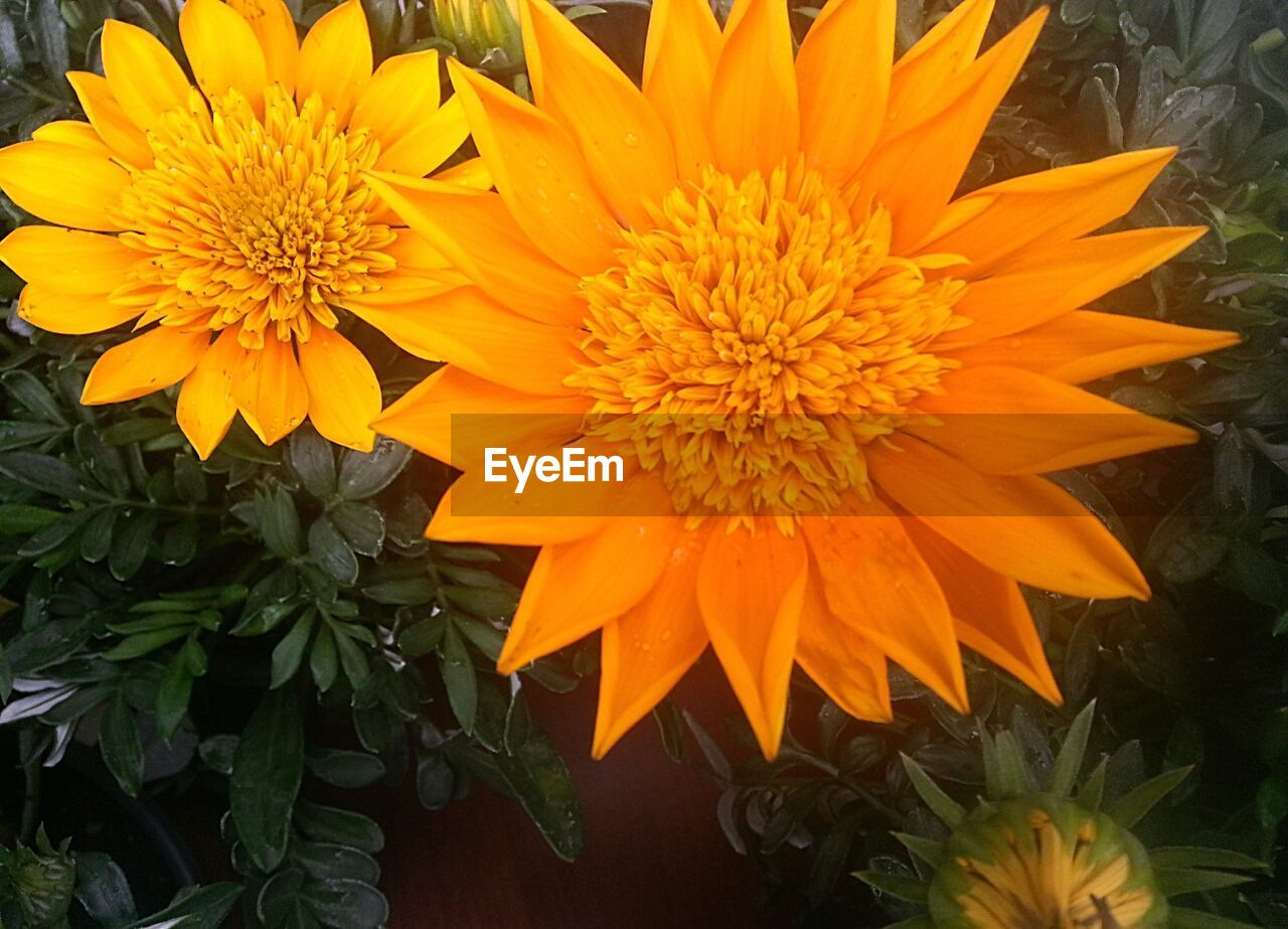 flower, petal, fragility, beauty in nature, nature, freshness, flower head, yellow, growth, plant, blooming, orange color, no people, close-up, gazania, outdoors, day