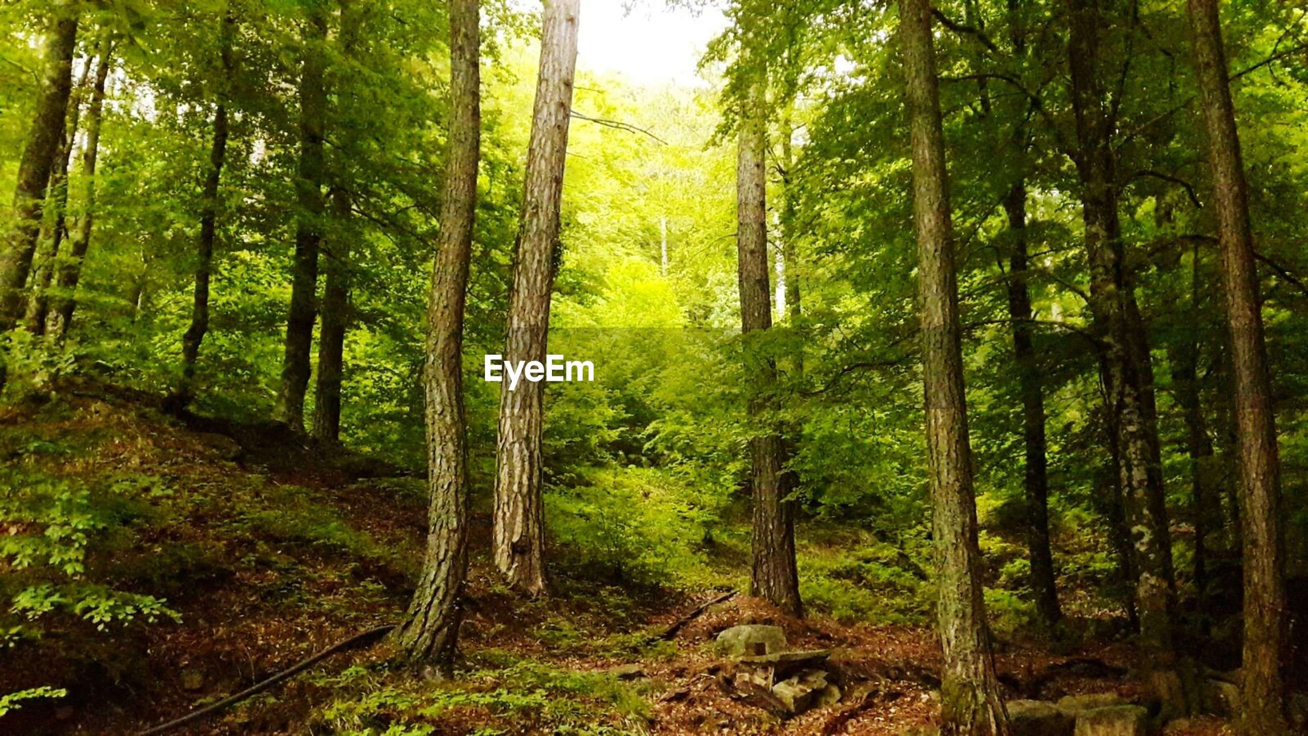 forest, tree, nature, beauty in nature, growth, tranquil scene, day, tranquility, scenics, tree trunk, green color, no people, outdoors, woodland, landscape