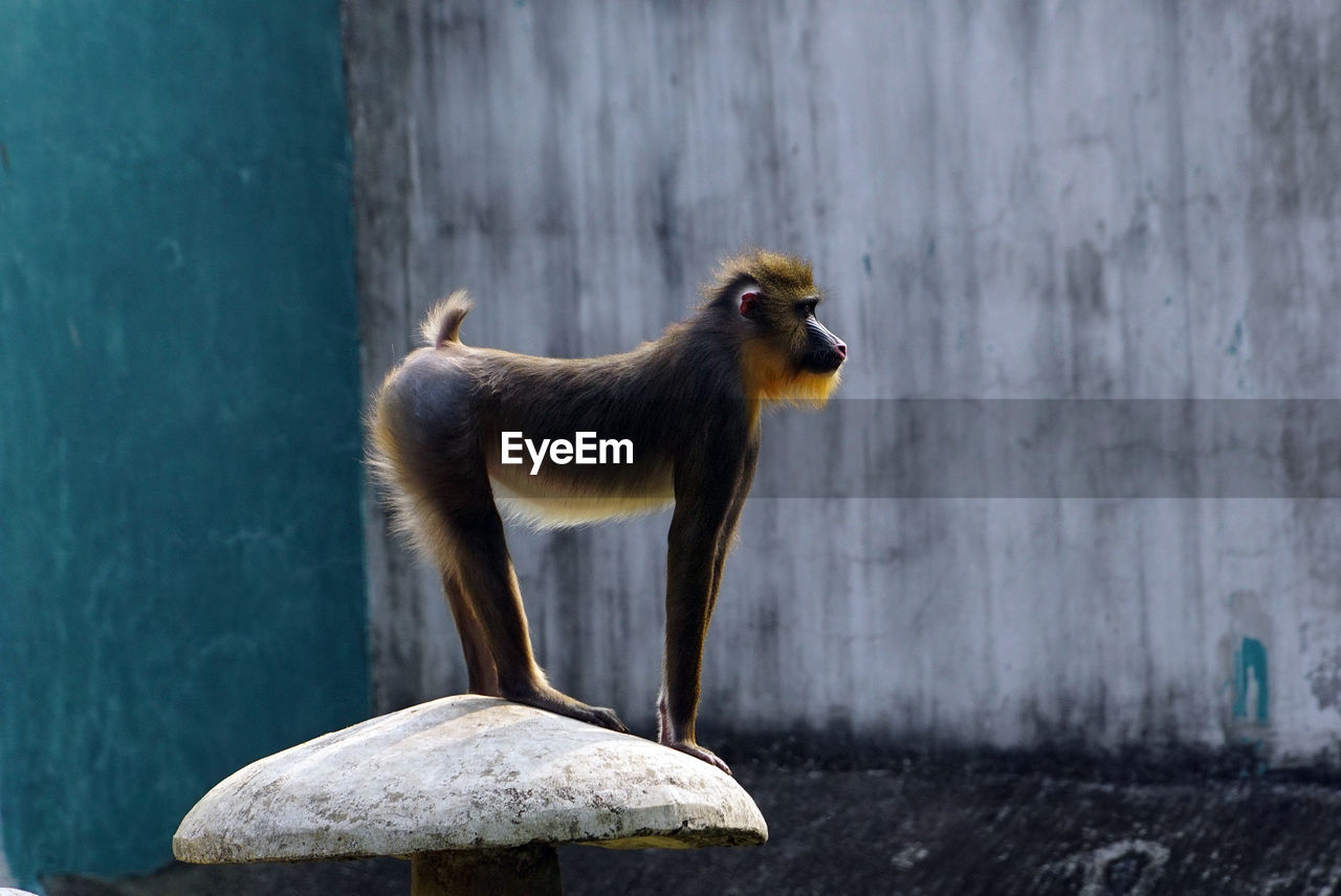 animal themes, animal, one animal, mammal, no people, animal wildlife, primate, monkey, vertebrate, animals in the wild, side view, wall - building feature, domestic animals, focus on foreground, animals in captivity, nature, outdoors, full length, pets, domestic, digital composite