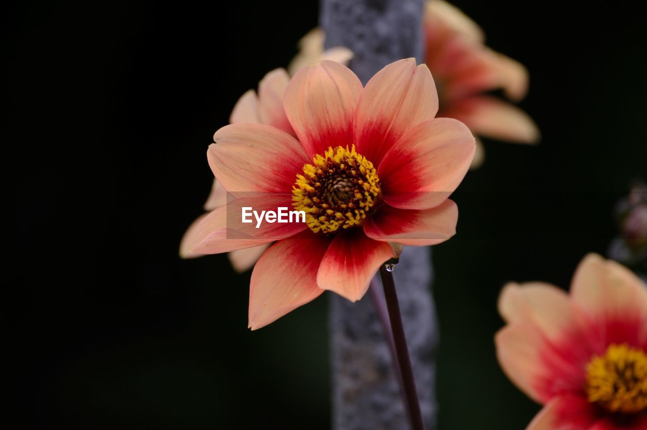 flowering plant, flower, fragility, vulnerability, freshness, inflorescence, petal, flower head, beauty in nature, plant, close-up, pollen, growth, focus on foreground, nature, outdoors, no people, pink color, selective focus, gazania
