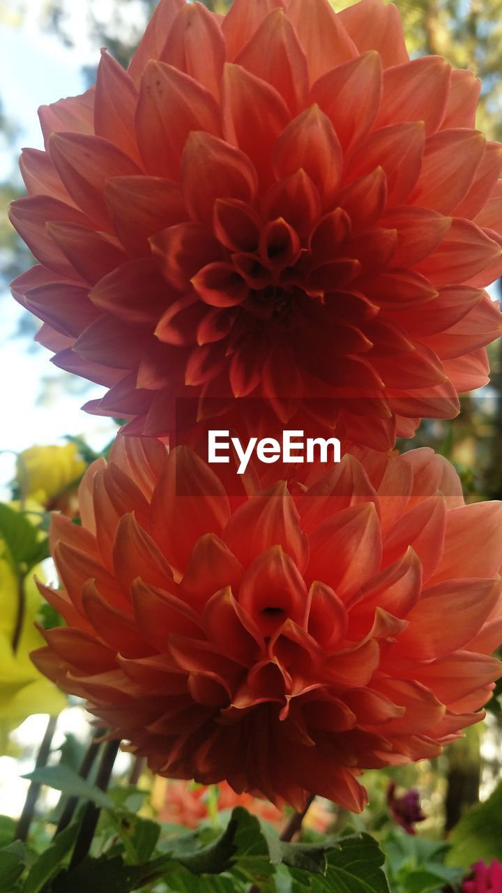flower, petal, fragility, beauty in nature, flower head, freshness, nature, focus on foreground, growth, close-up, blooming, day, no people, plant, red, dahlia, outdoors, springtime, zinnia