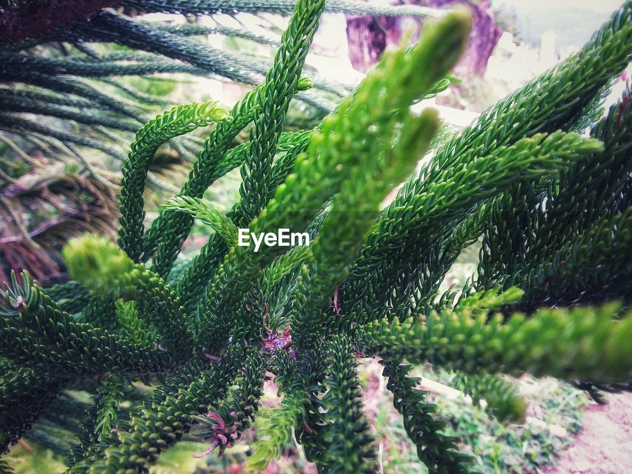 green color, plant, growth, selective focus, close-up, nature, no people, day, beauty in nature, leaf, outdoors, plant part, tree, land, focus on foreground, tranquility, freshness, field, sunlight, succulent plant, needle - plant part, coniferous tree, fir tree