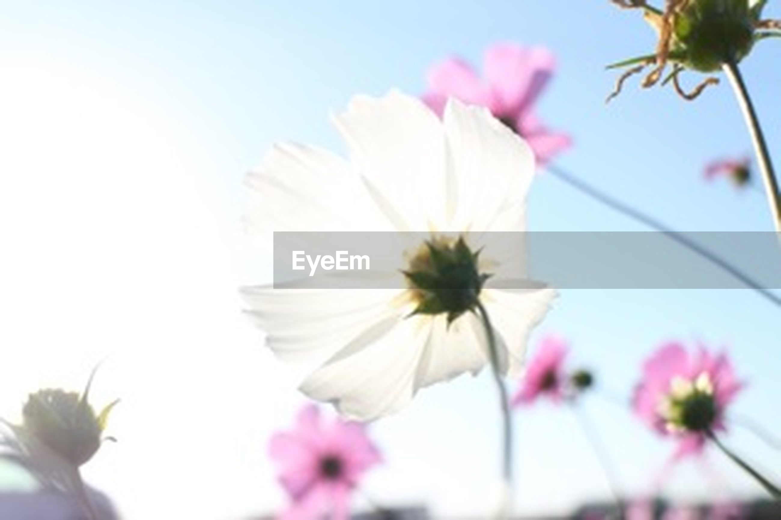 flower, freshness, fragility, petal, flower head, growth, beauty in nature, focus on foreground, nature, close-up, blooming, low angle view, blossom, stem, pollen, in bloom, pink color, stamen, springtime, sky