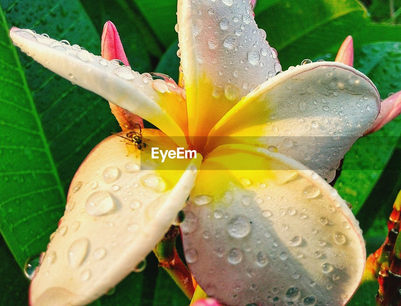 flower, flowering plant, water, plant, drop, wet, freshness, vulnerability, fragility, beauty in nature, close-up, growth, inflorescence, petal, flower head, nature, leaf, pollen, no people, outdoors, rain, raindrop, rainy season, purity, dew