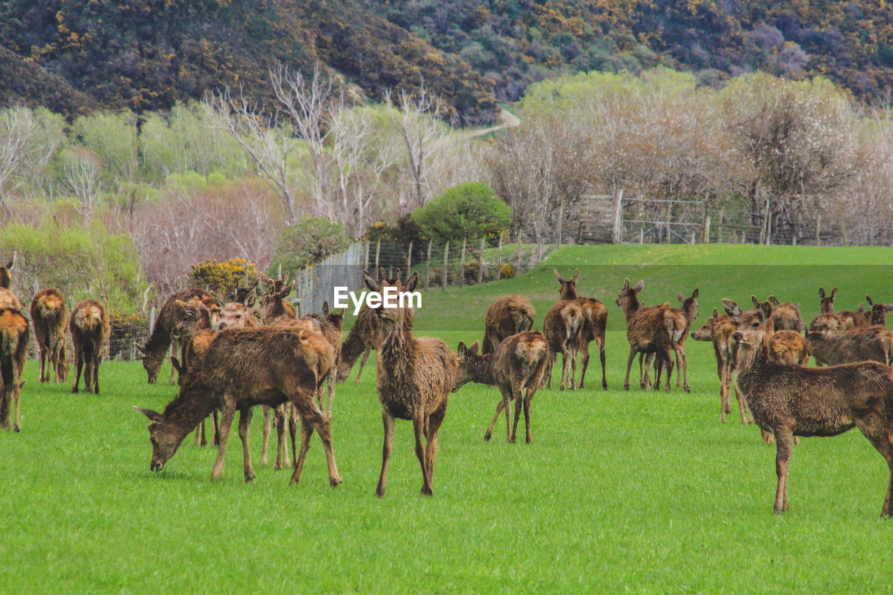animal, animal themes, mammal, plant, group of animals, grass, animal wildlife, domestic animals, land, animals in the wild, field, tree, large group of animals, livestock, nature, vertebrate, day, no people, agriculture, green color, herd, outdoors, herbivorous