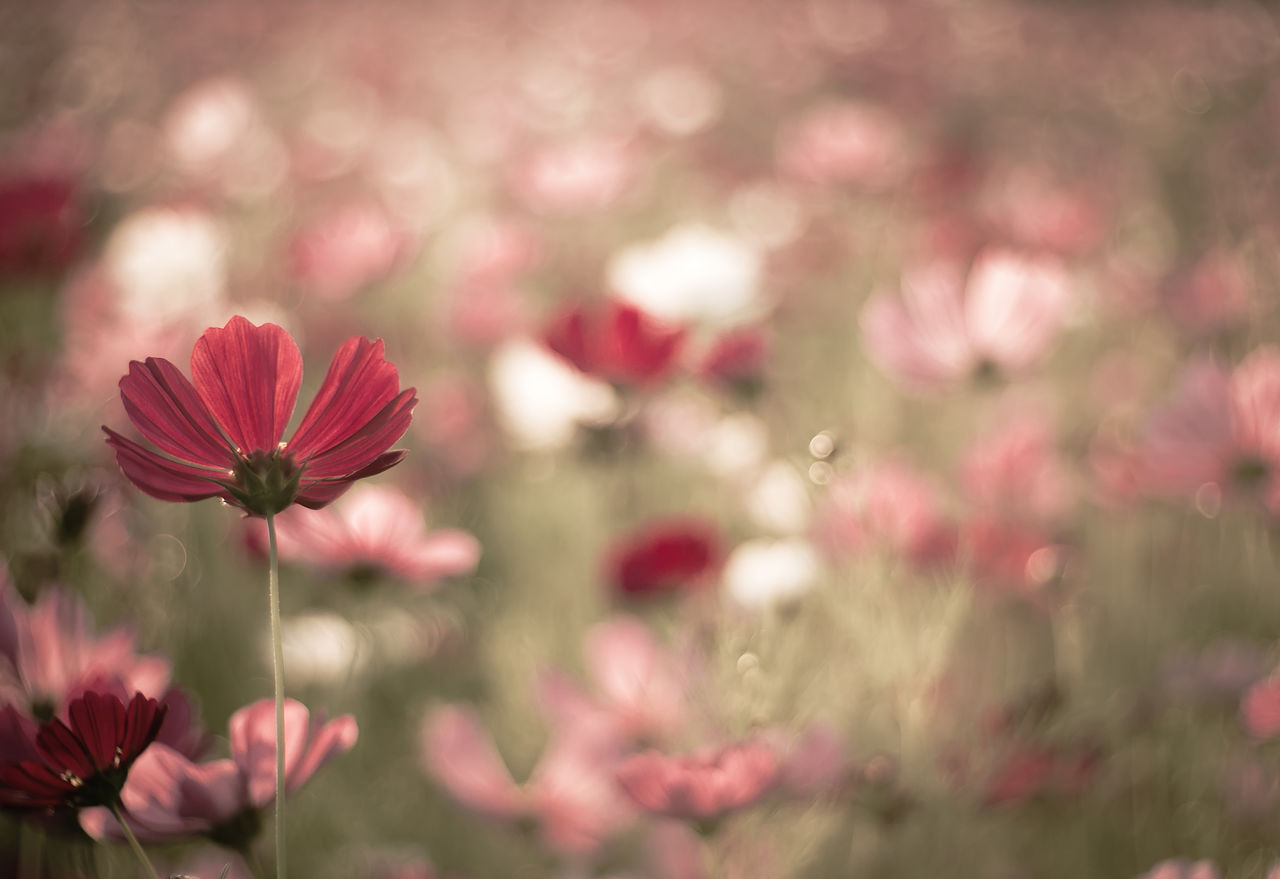 flowering plant, flower, vulnerability, fragility, plant, freshness, beauty in nature, petal, growth, pink color, close-up, flower head, inflorescence, nature, focus on foreground, no people, day, selective focus, botany, cosmos flower, outdoors