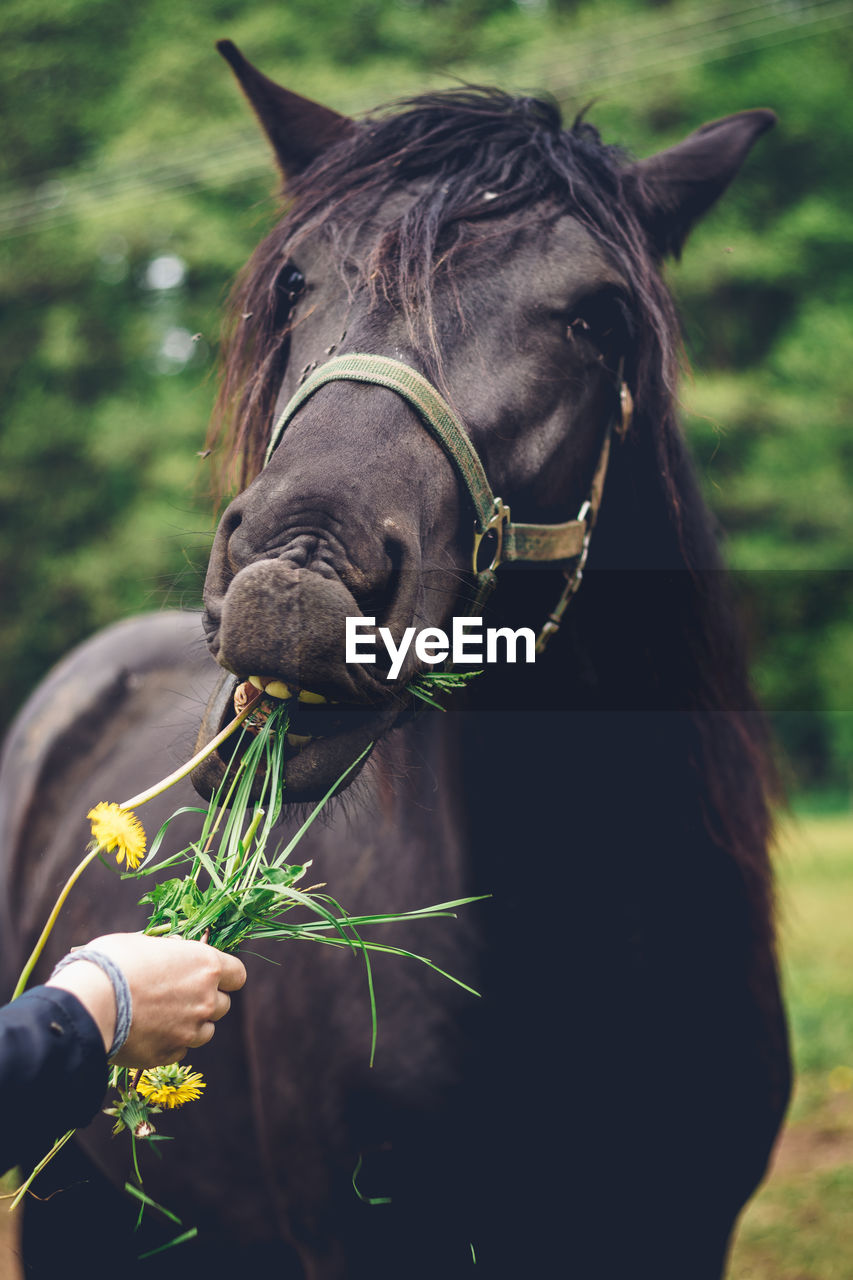 Young breeder gives her beautiful black working horse a grass to eat as a snack. the black horse