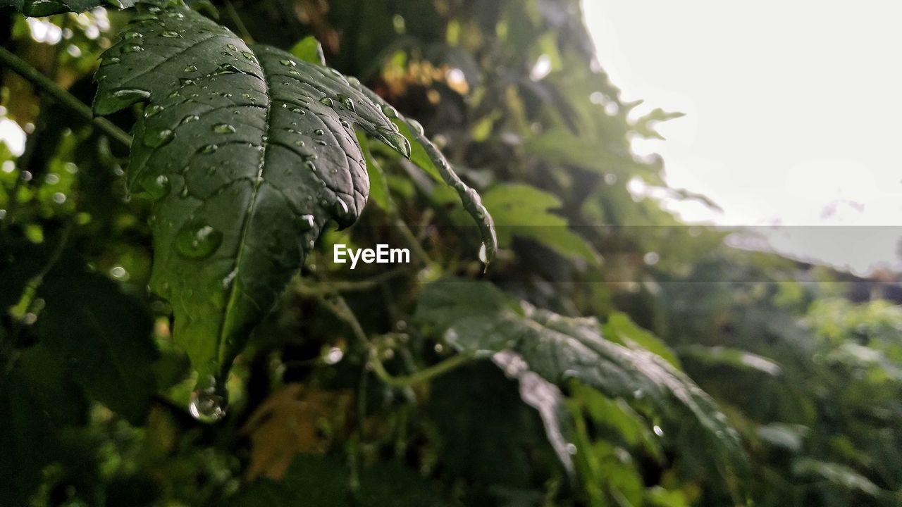 plant, growth, green color, drop, water, close-up, wet, nature, beauty in nature, no people, focus on foreground, day, leaf, plant part, tranquility, freshness, outdoors, selective focus, rain, dew, raindrop, rainy season