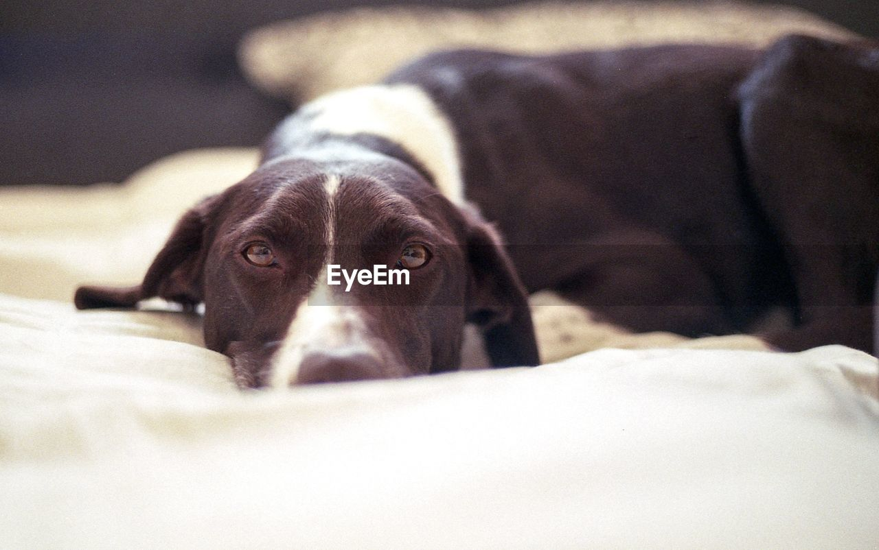 Portrait of dog lying down on bed