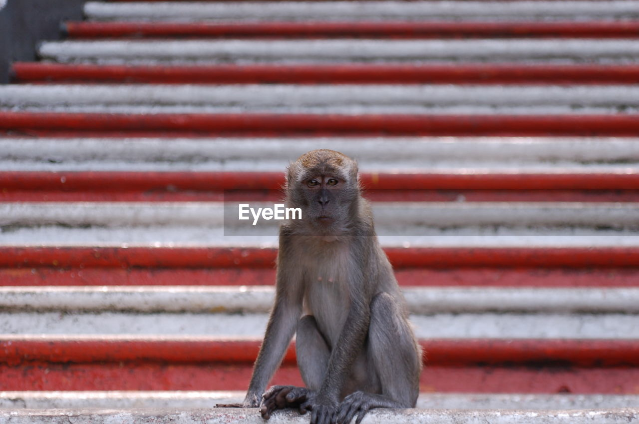 one animal, animal wildlife, mammal, primate, vertebrate, animals in the wild, sitting, day, no people, looking at camera, focus on foreground, red, portrait, looking, close-up