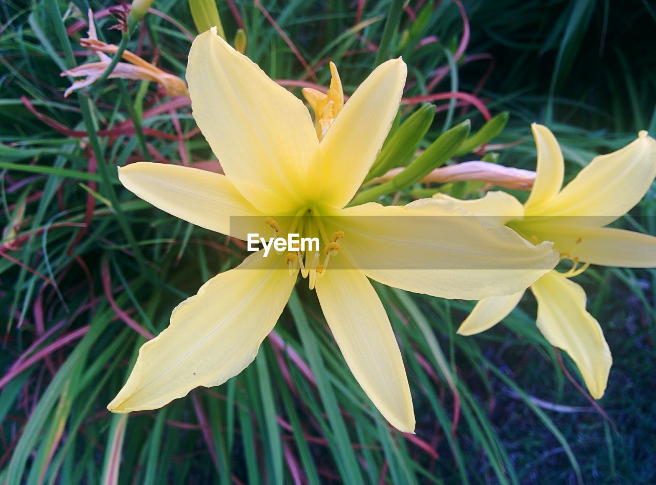 flower, petal, fragility, flower head, beauty in nature, growth, nature, freshness, yellow, blooming, day, close-up, no people, plant, outdoors, springtime, day lily