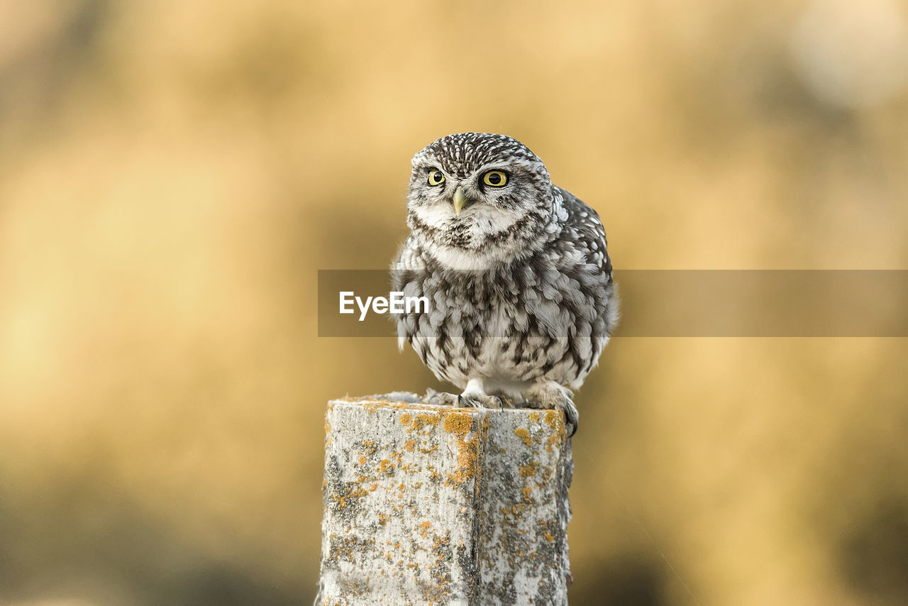 animal wildlife, animal themes, animals in the wild, animal, one animal, bird, focus on foreground, vertebrate, close-up, perching, no people, owl, looking at camera, bird of prey, wood - material, nature, day, portrait, post, looking, wooden post