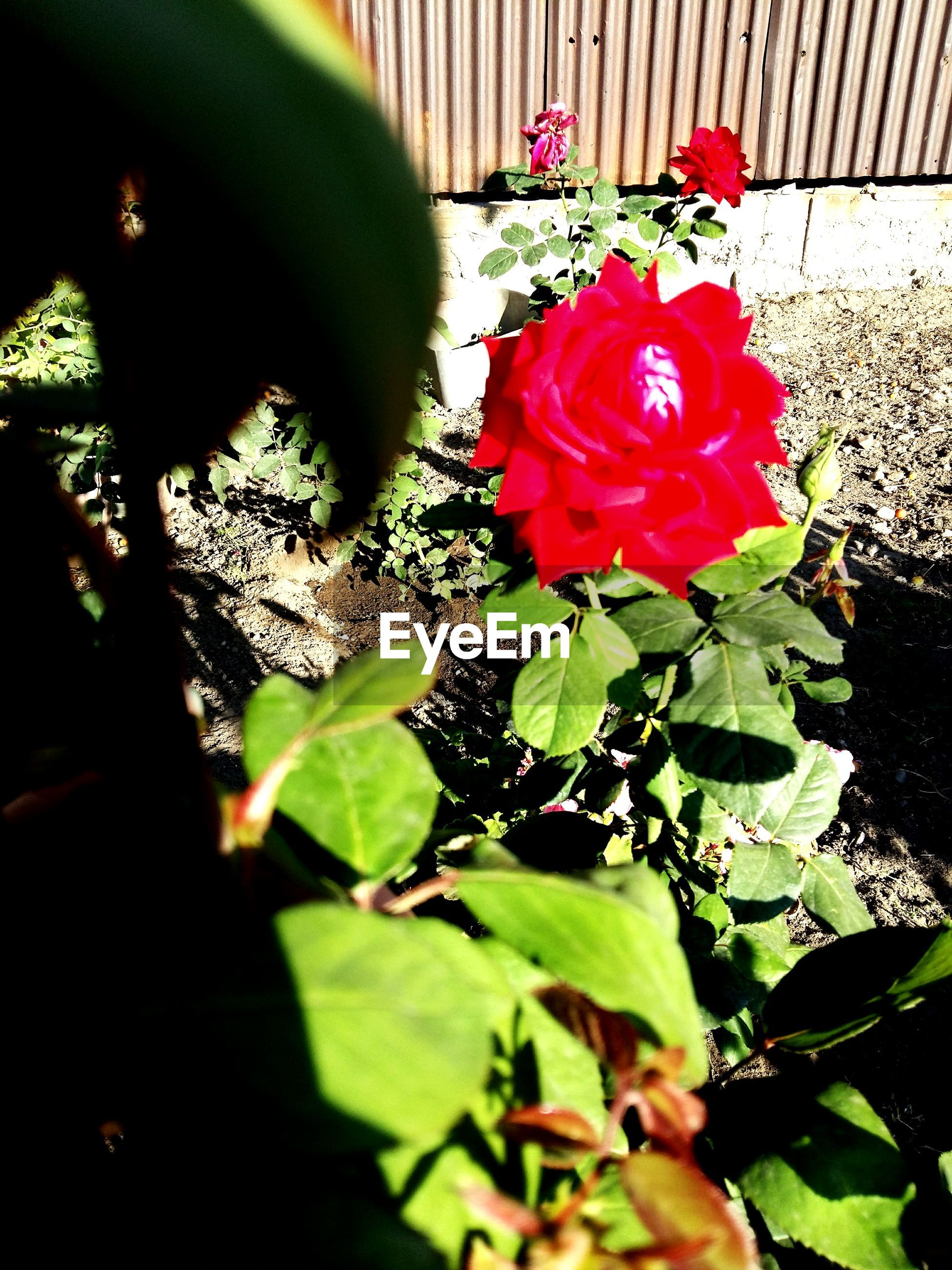 flower, petal, freshness, leaf, fragility, plant, growth, flower head, red, blooming, beauty in nature, nature, close-up, potted plant, rose - flower, in bloom, green color, sunlight, day, high angle view