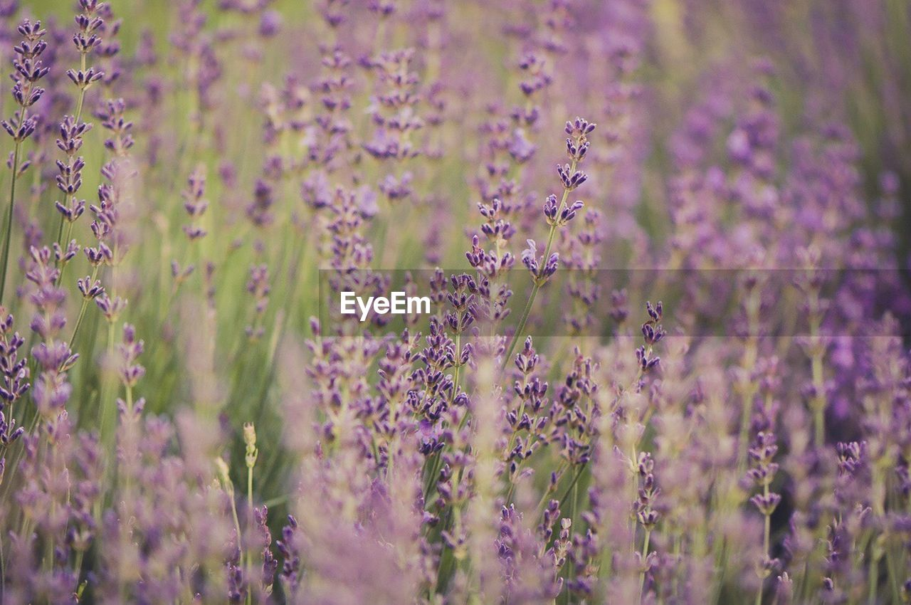 purple, flower, lavender, plant, growth, selective focus, nature, beauty in nature, no people, day, fragility, outdoors, close-up