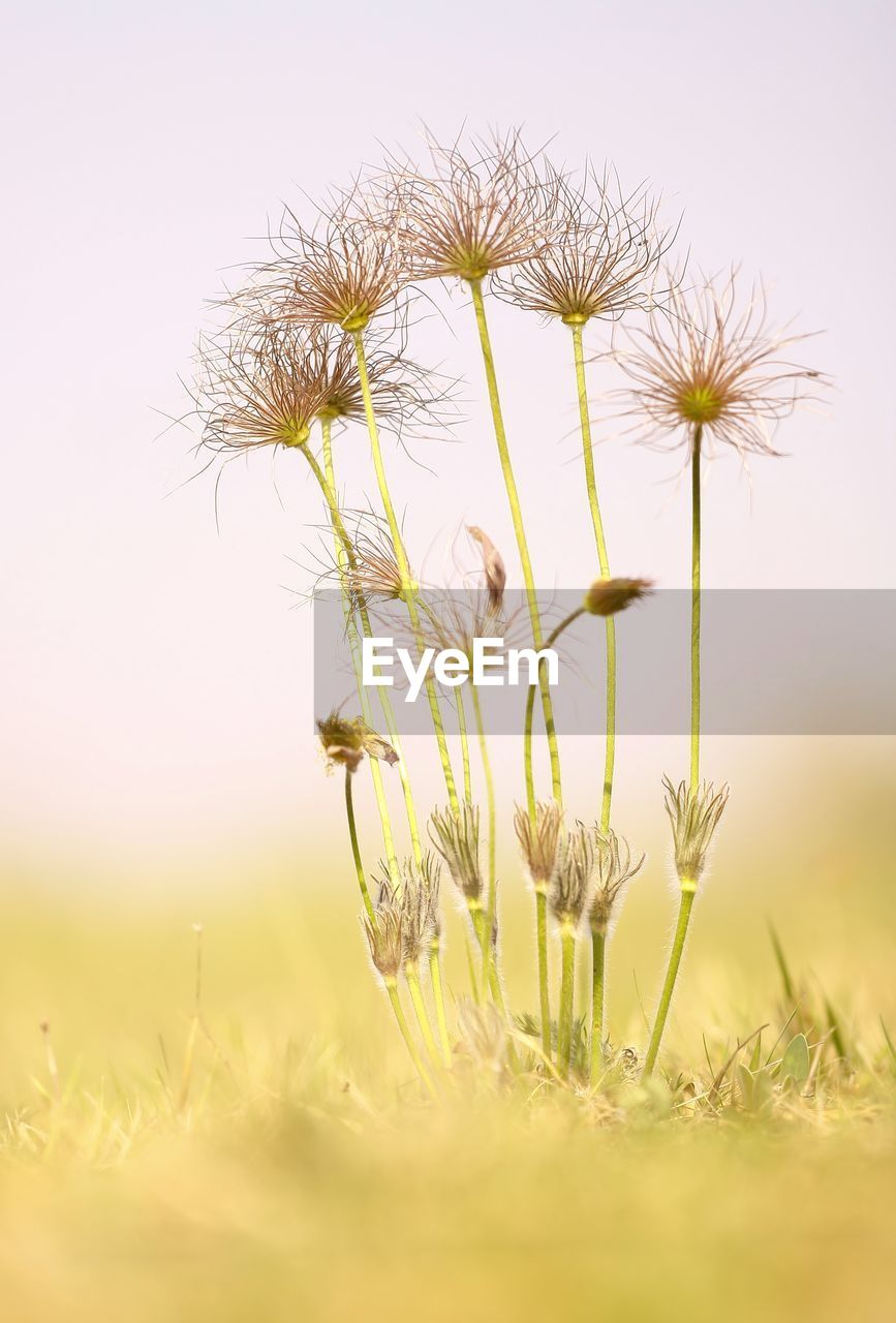 plant, growth, flower, flowering plant, beauty in nature, vulnerability, fragility, freshness, nature, field, close-up, selective focus, land, no people, sky, day, plant stem, yellow, tranquility, flower head, outdoors, dandelion seed