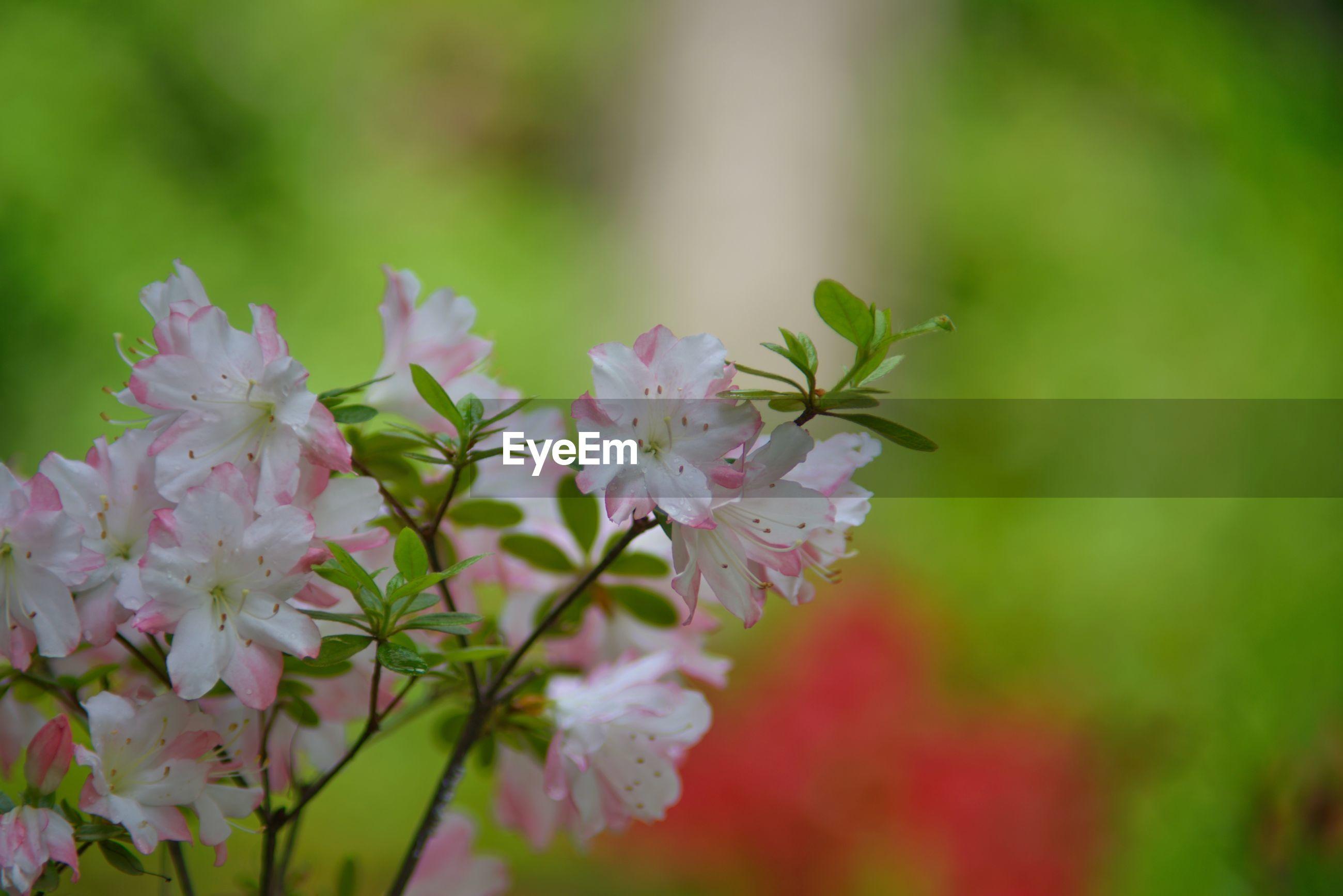 White pink korean azalea