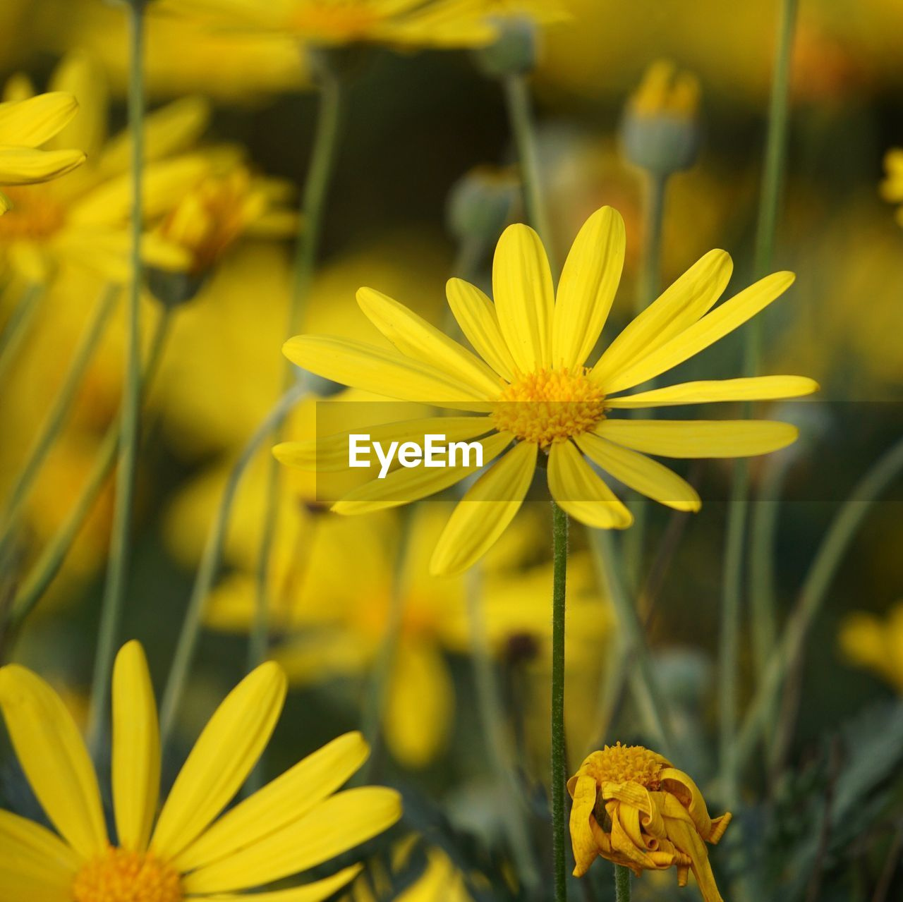 flowering plant, flower, yellow, fragility, vulnerability, beauty in nature, petal, freshness, flower head, plant, inflorescence, growth, close-up, focus on foreground, nature, pollen, no people, day, outdoors, selective focus