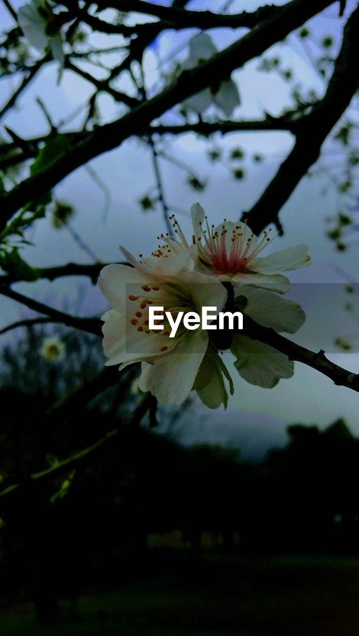 flower, fragility, petal, beauty in nature, growth, nature, freshness, flower head, blossom, tree, white color, springtime, pollen, close-up, branch, stamen, no people, blooming, day, plant, outdoors