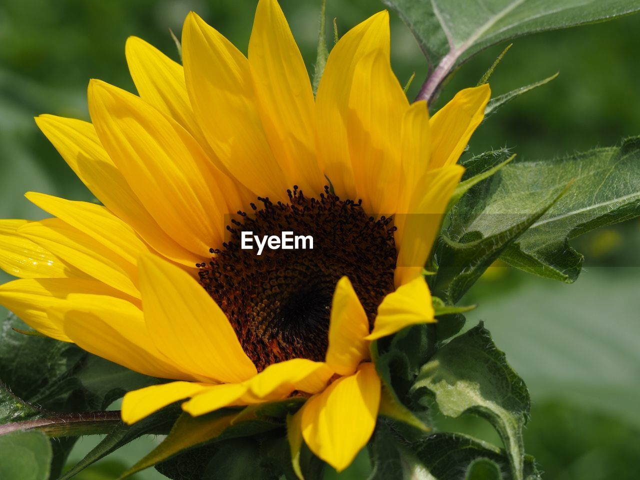 flowering plant, flower, yellow, plant, flower head, growth, petal, inflorescence, vulnerability, freshness, fragility, beauty in nature, close-up, pollen, nature, sunflower, day, no people, leaf, outdoors, gazania, sepal