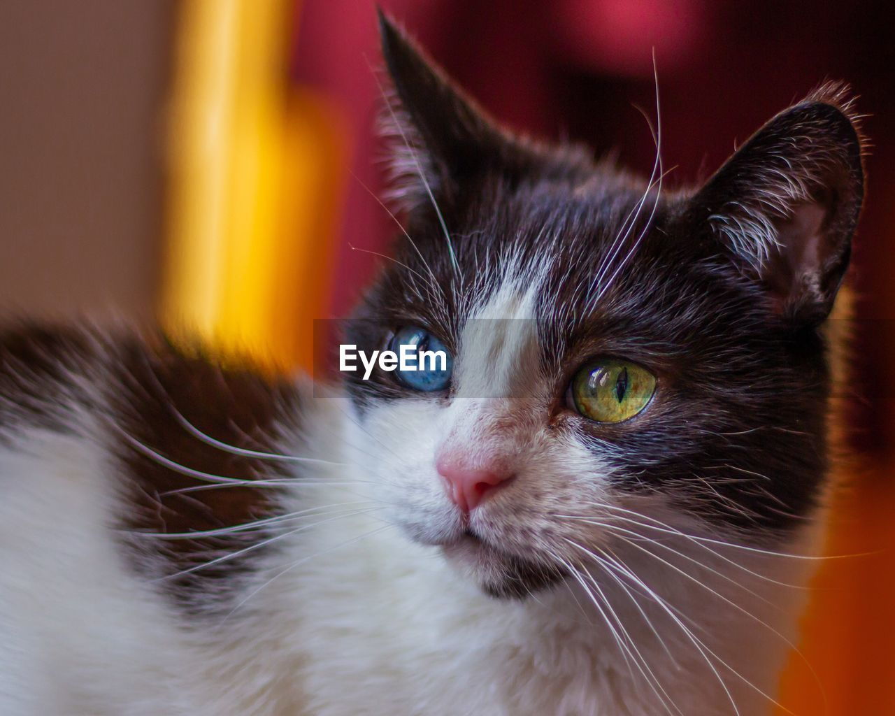domestic, domestic cat, cat, pets, domestic animals, feline, animal themes, animal, mammal, one animal, close-up, vertebrate, whisker, animal body part, no people, animal head, looking, portrait, focus on foreground, looking at camera, animal eye
