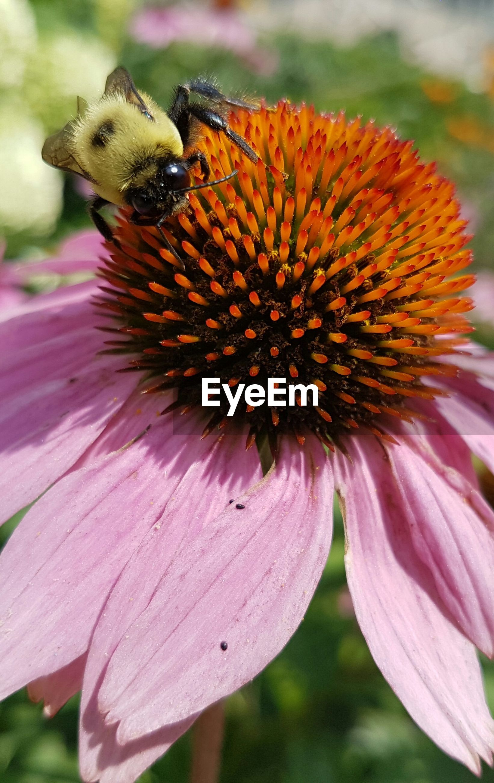 Close-up of insect pollinating on eastern purple coneflower