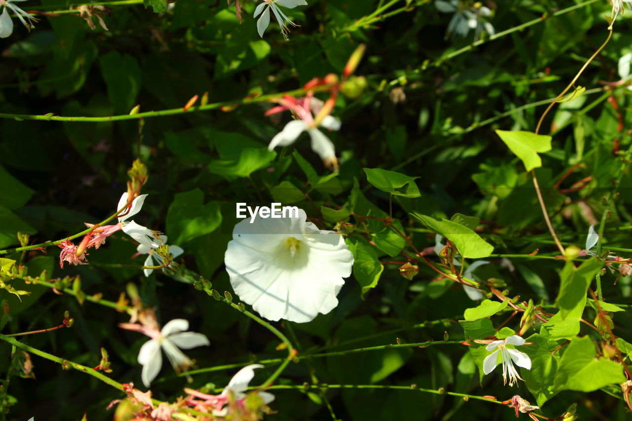 white color, flower, growth, petal, nature, fragility, beauty in nature, day, plant, flower head, freshness, no people, outdoors, blooming, close-up, leaf, periwinkle