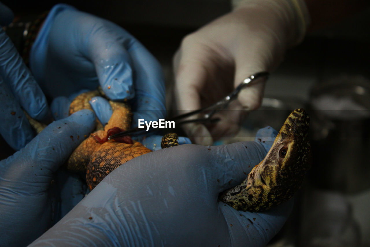 Cropped Hands Of Surgeons Operating Lizard